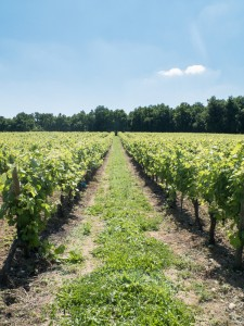 cognac_rang_de_vigne