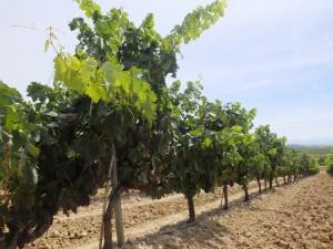 vigne_espagnole