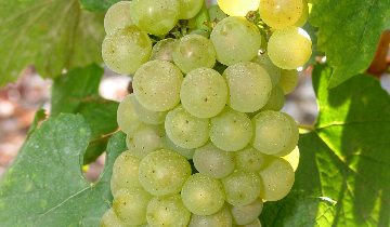 featured_chardonnay