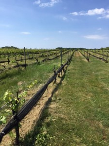 vignoble_long_island