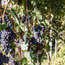 vigne_nebbiolo